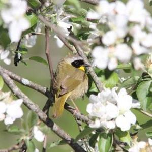 Common Yellowthroat_Sherry Hollister