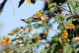 Female Ruby Throated Hummingbird in September