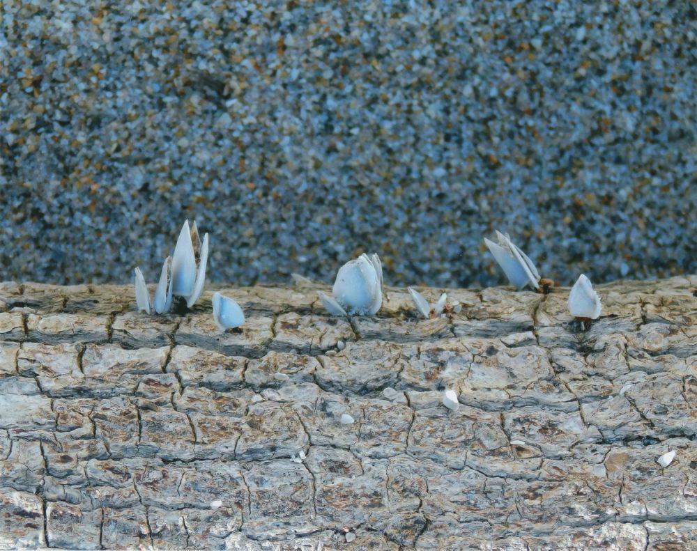 Driftwood Mollusks
