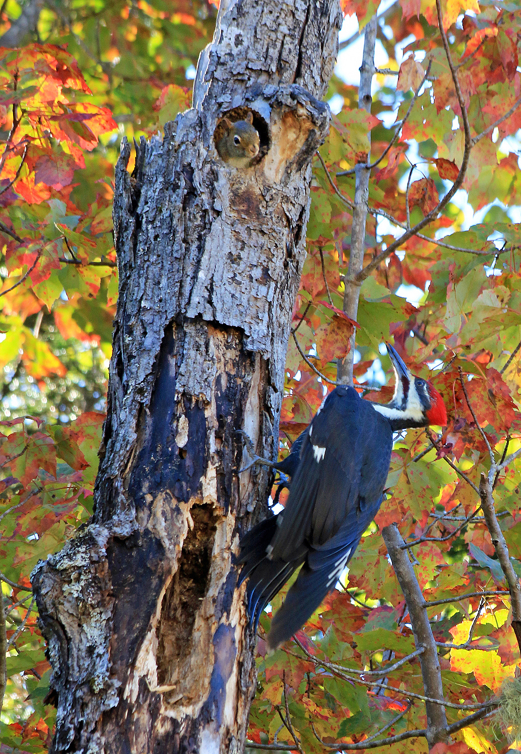 Pileated Woodpecker and Red Squirrel, Campton, NH