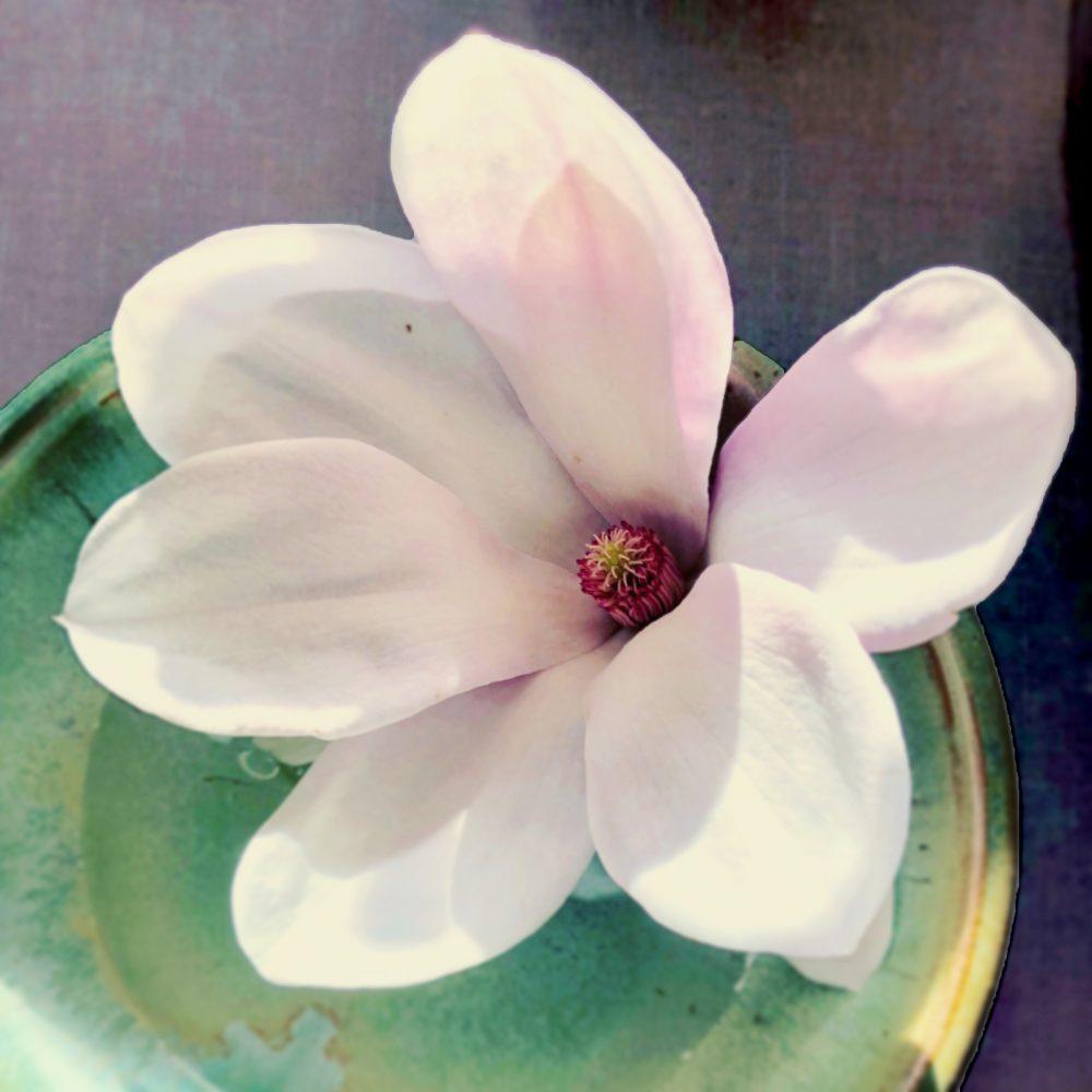 Stolen Magnolia