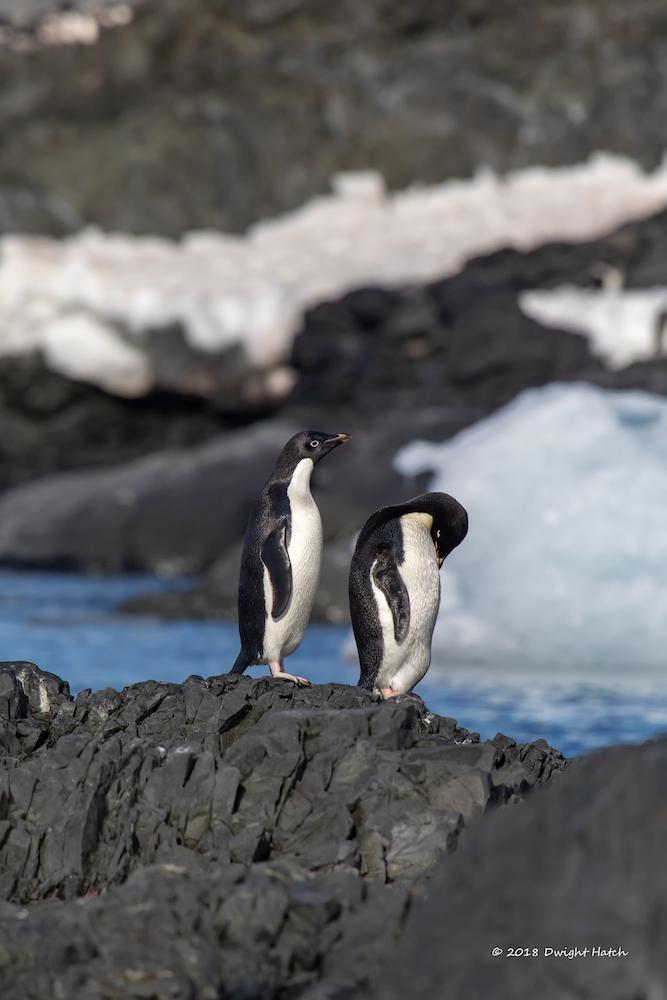 Penguin Pair, photography
