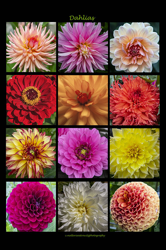 Dahlia Collage, digital photography
