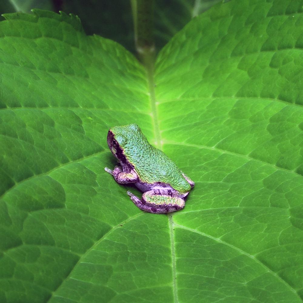 Gray Tree Frog (Hyla versicolor) on Hydrangea, digital photography