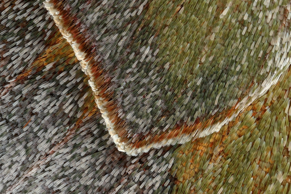 Moth Wing Scales, photography composite