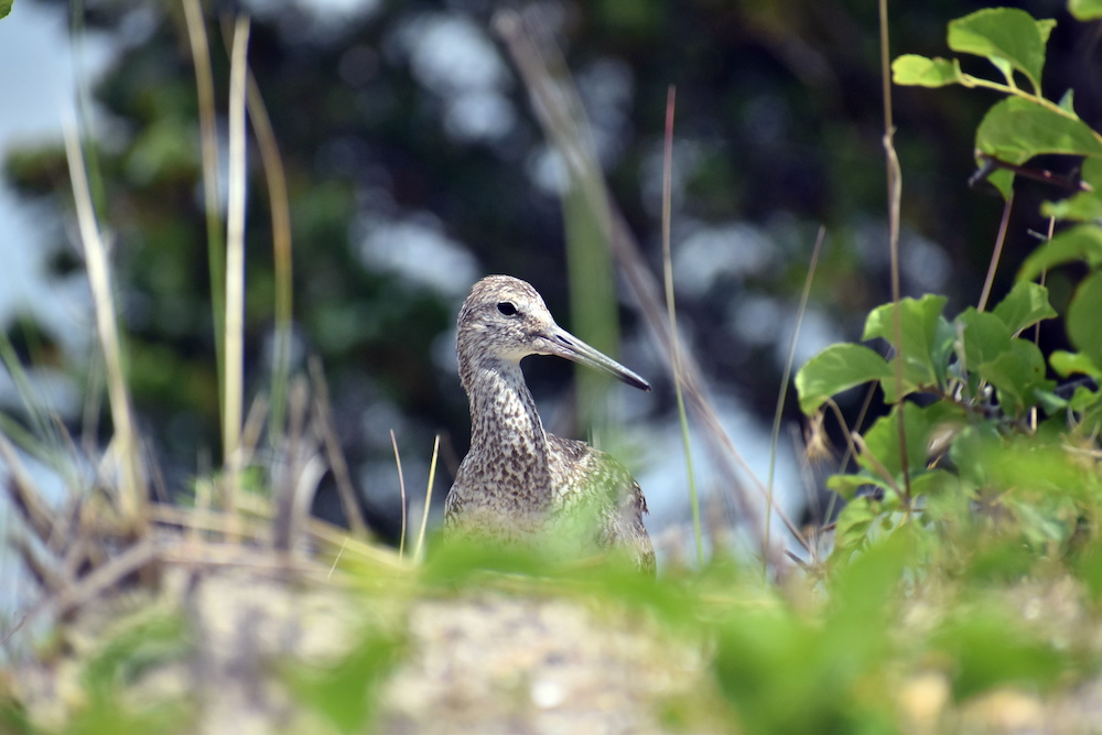 Sandpiper in the Grass, digital photography