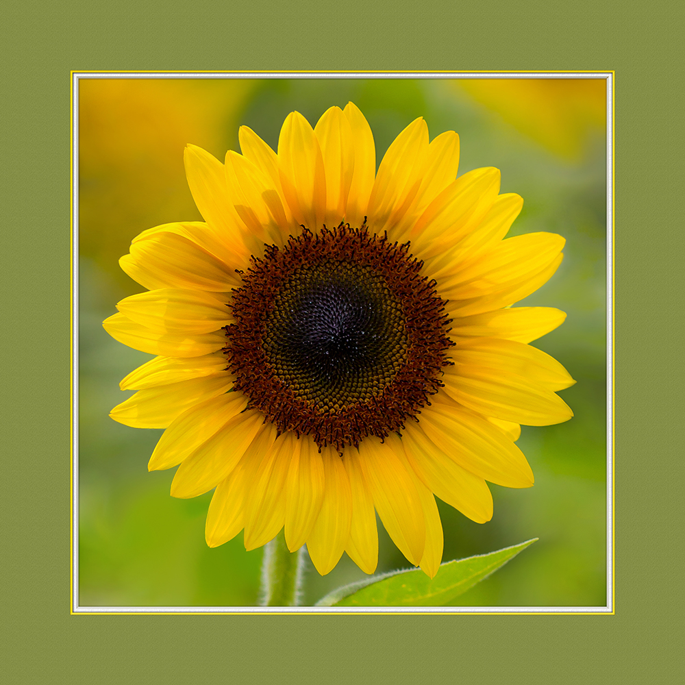 The Sunflower, digital photography
