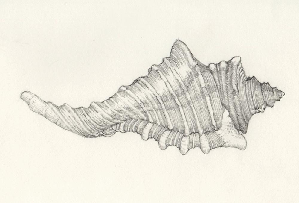 Conch, graphite