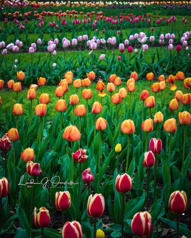 Tulip Daze, photography