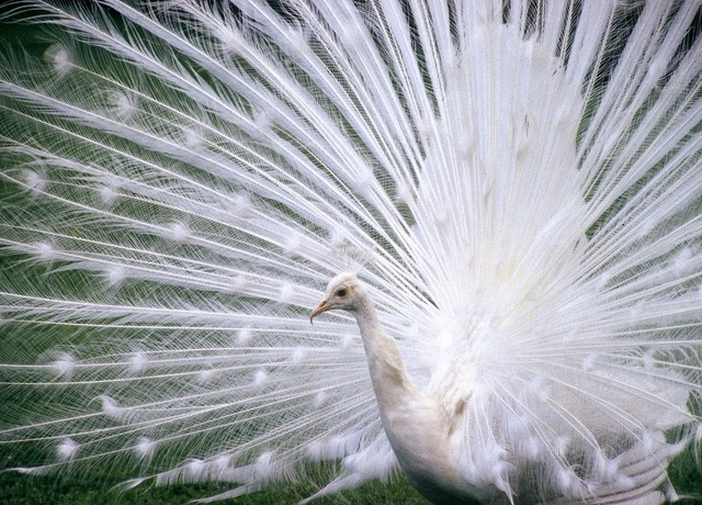 White Feathers, photography