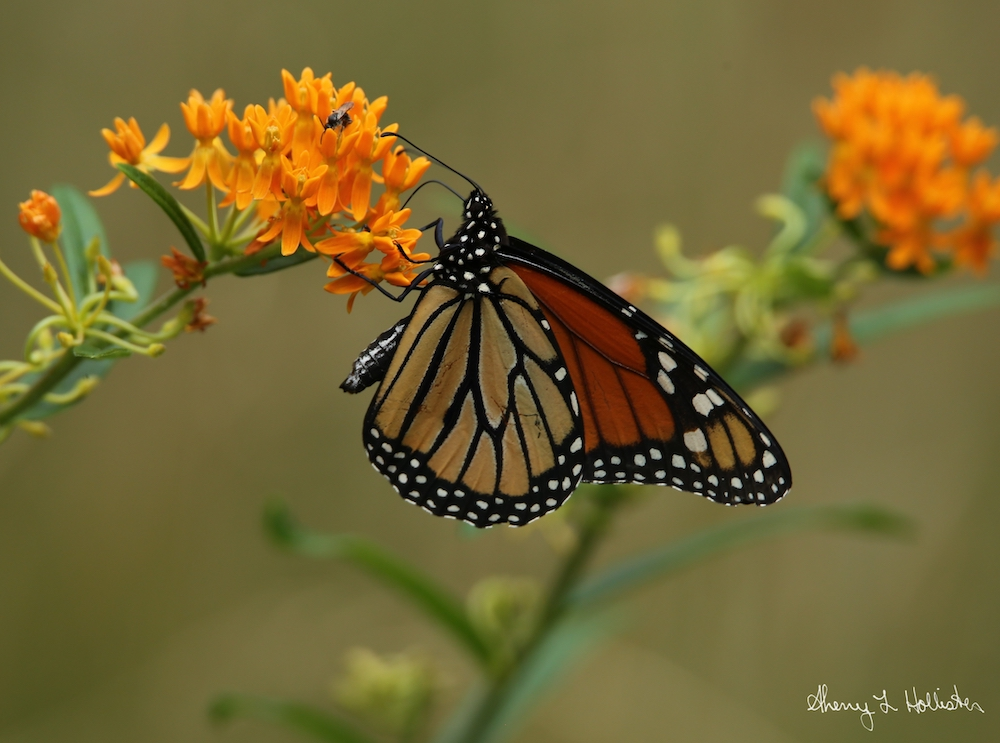 Monarch on Butterfly Weed, photography