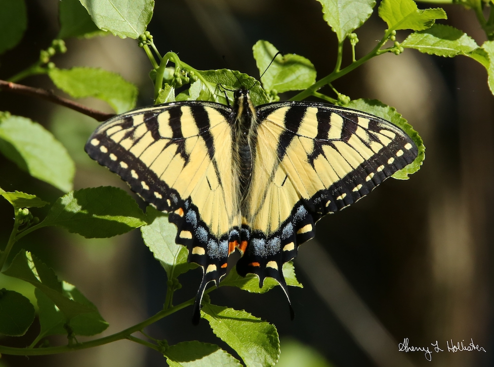 Tiger Swallowtail, photography